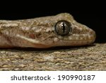 gecko | Shutterstock . vector #190990187