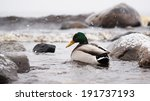 ducks on the lake in the snow | Shutterstock . vector #191737193