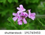 Little Pink Geranium Flower