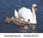 Swan With Chicks  Cygnus Olor