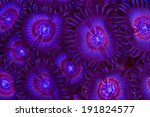 These Are Palythoa Polyps With...