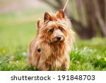 Pured Australian Terrier Dog...