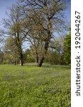 a pretty field of bluebells in...