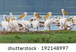 vacationers white pelicans in... | Shutterstock . vector #192148997