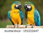 Two Macaws Ararauna