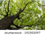 big old maple tree shot from... | Shutterstock . vector #192503597