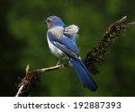 scrub jay | Shutterstock . vector #192887393