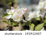 flowering apple branches with... | Shutterstock . vector #192912407