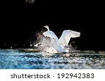 Swan Rising From Water And...