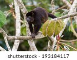 Small photo of Mantled Howler, Alouatta palliata, in a Cecropia tree
