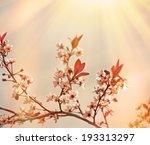 Soft Focus On Flowering Branch...