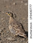 Small photo of Double Banded Sandgrouse