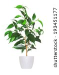 young sprout of ficus a potted... | Shutterstock . vector #193451177