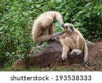 white cheeked gibbon or lar... | Shutterstock . vector #193538333