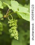 Small photo of Acer pseudoplatanus, maple blossom