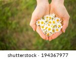 Woman's Hand With A Camomile O...