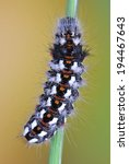 Small photo of Moth Acronicta rumicis (caterpillar, larva) on a plant