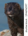 Small photo of Close up of an American Mink.