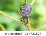 Stink Bug  Erthesina Fullo