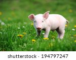 Young Pig On A Spring Green...