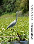 Heron  Ardea Goliath  In...