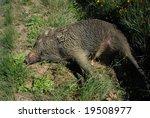 Dead Female Boar In The Grass...