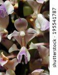 Small photo of Aerides Orchid