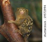 A Cute Pygmy Marmoset Holding...