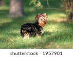 yorkshire terrier baby | Shutterstock . vector #1957901