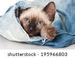 Stock photo siamese kitten plays with an old jeans 195966803