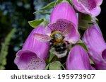 Bumble Bee Landing  Foxglove