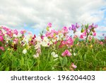Colorful Lathyrus In The Fields