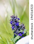Small photo of Upright Bugle, Blue Bugle, Geneva Bugleweed, Blue Bugleweed, (Ajuga genevensis)