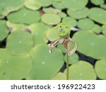 lotus pods are the fruit of the ...   Shutterstock . vector #196922423
