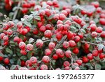Red Berries  Cotoneaster...