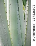 Small photo of Agave ferox, Agave attenuata (agavaceae)