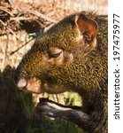 Small photo of Agouti have some thing to eat in the warm sunlight.
