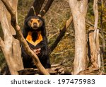 Sun Bear Looking Up From Eatin...
