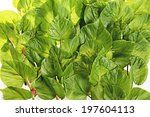 green leaves on a white... | Shutterstock . vector #197604113