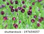 Burgundy Tulips In Flower Bed...