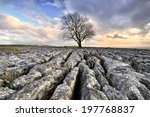 Malham Tree On Limestone...