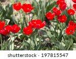 tulip on nature   Shutterstock . vector #197815547
