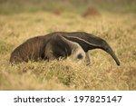 giant anteater  myrmecophaga... | Shutterstock . vector #197825147