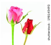 Pink And Red Rosebud Rose...