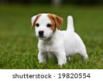 Stock photo jack russell terrier puppy on grass 19820554