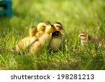 little cute ducklings on green... | Shutterstock . vector #198281213