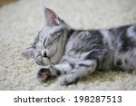 Stock photo an image of american shorthair 198287513