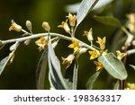 elaeagnus angustifolia  | Shutterstock . vector #198363317