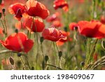 many scarlet poppies in the... | Shutterstock . vector #198409067
