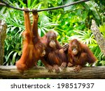 close up of orangutans ... | Shutterstock . vector #198517937